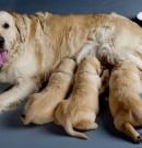 Come partorisce un cane? Ecco una guida su cosa fare prima, durante e dopo il parto